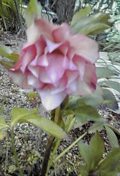 咲きました♪