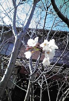 我が家の桜の開花宣言♪