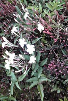 ジャスミンの花が、チラホラ…♪