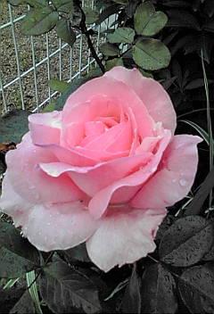 あのバラが…♪