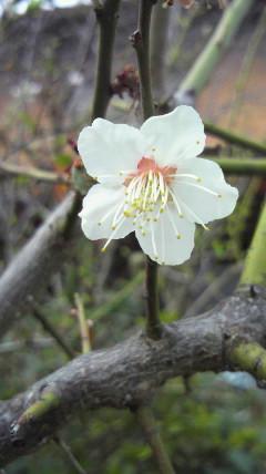 わが家の桜も…♪