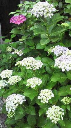紫陽花と雨…♪
