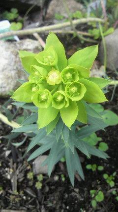 ユーフォルビアの花が…