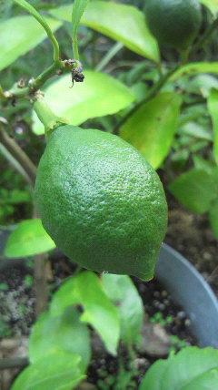 バケツに植えているレモンの木に…