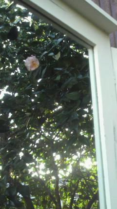 ピンクの椿が…