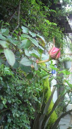 バラのつぼみの…