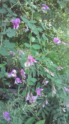 小屋裏にある萩の花が…