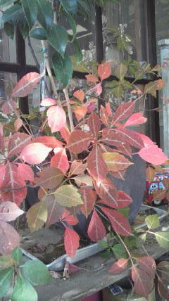 わが家の紅葉♪