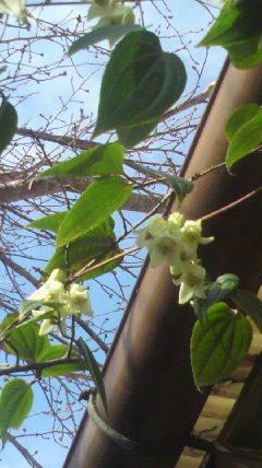 冬咲きクレマチスが…