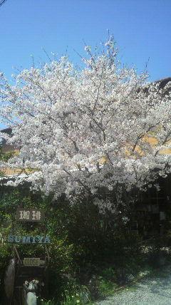 この桜の木の下で…