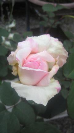 次のバラが…